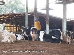 牧場の牛たち