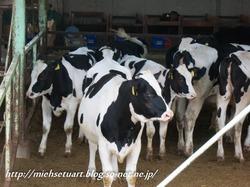 牧場の子牛たち